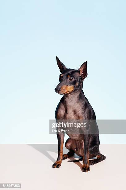 Portrait of English Toy Terrier