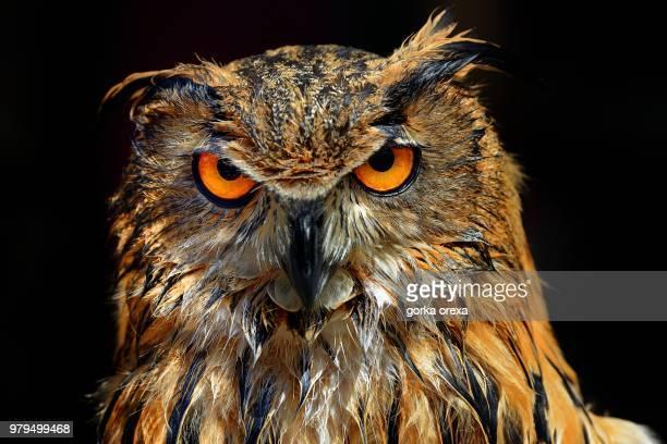 Portrait of Eurasian eagle owl (Bubo bubo)