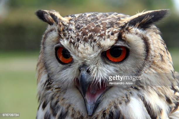 Portrait of eurasian eagle owl (bubo bubo) with red eyes, Milan, Italy