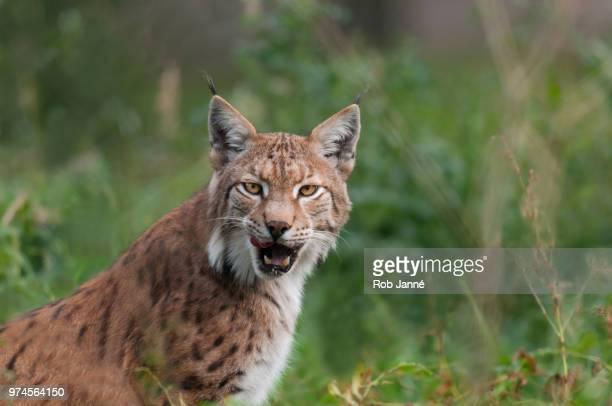 Portrait of eurasian lynx (Lynx lynx), Germany