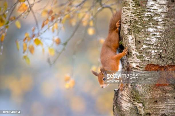 portrait of eurasian red squirrel climbing on tree in autumn - mammal stock pictures, royalty-free photos & images