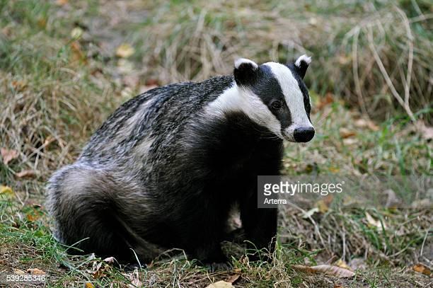 Portrait of European badger sitting in meadow
