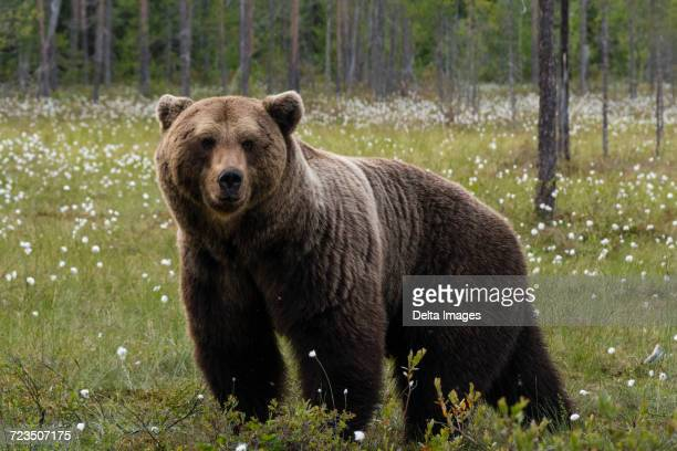 Portrait of european brown bear standing in forest