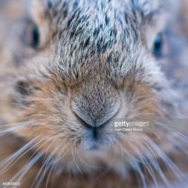 Portrait of European hare - Liebre europea (Lepus europaeus), also known as the brown hare, Navarra, Spain, Europe