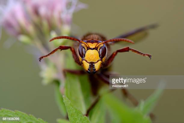 Portrait of European hornet