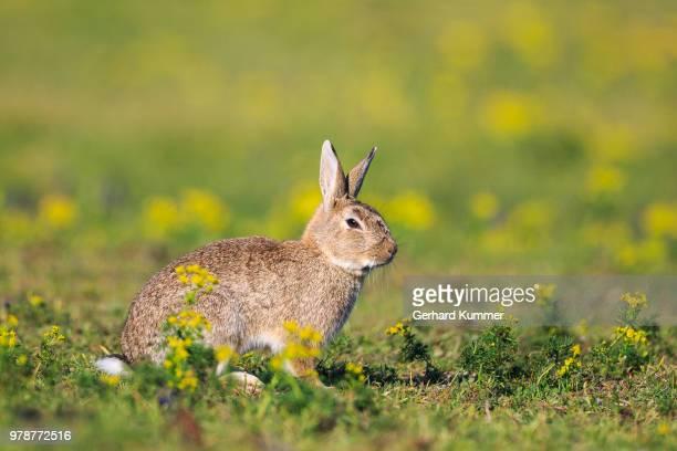 Portrait of european rabbit (Oryctolagus cuniculus) in grass, National Park Neusiedler See Seewinkel, Austria