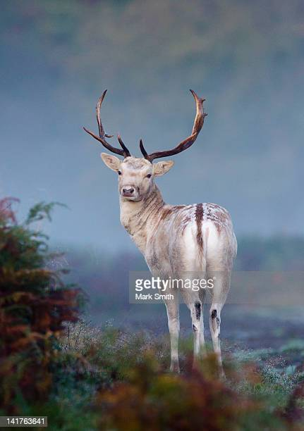 portrait of fallow deer stag - stag stock pictures, royalty-free photos & images