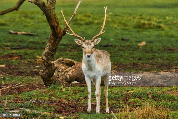portrait of fallow deer standing on field,united kingdom,uk - herbivorous stock pictures, royalty-free photos & images