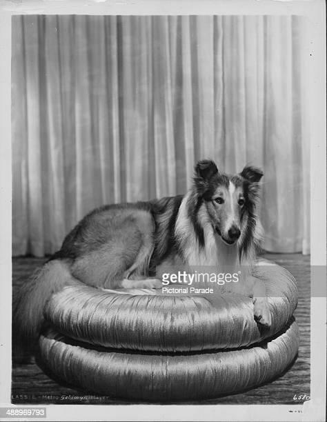 Portrait of famous female collie dog 'Lassie' circa 19551970