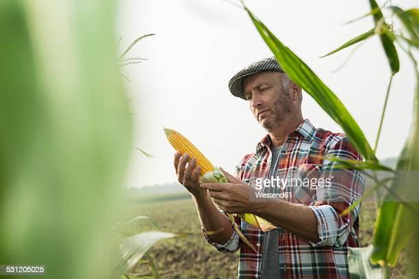 portrait of farmer controlling corn cob in a maizefield - bauernberuf stock-fotos und bilder