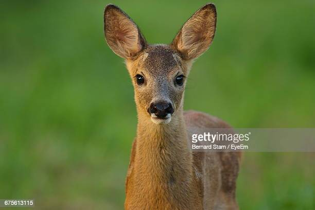 Portrait Of Fawn Standing On Grassy Field