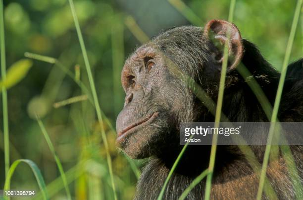Portrait of female Chimpanzee in high grass at Chimfushi sanctuary in Zambia Date 250608