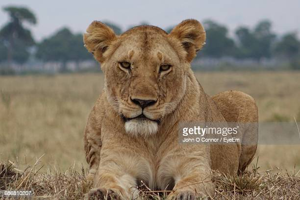 Portrait Of Female Lion Resting On Field