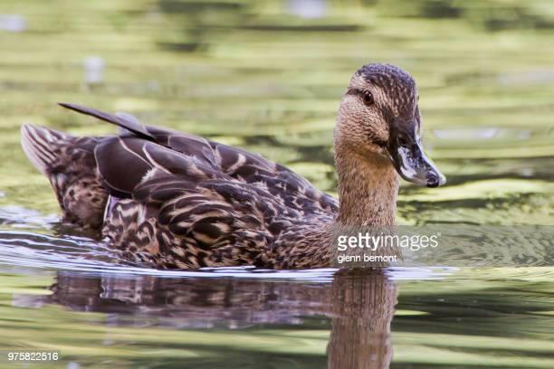 portrait of female mallard duck (anas platyrhynchos) - germano reale foto e immagini stock