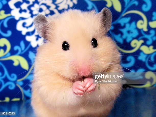 portrait of female syrian hamster buleczka - golden hamster stock pictures, royalty-free photos & images