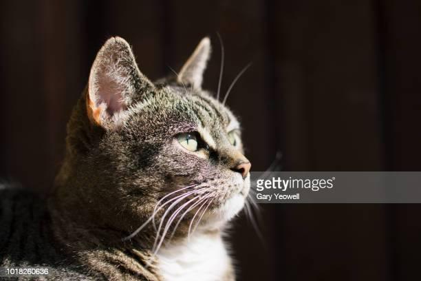 portrait of female tabby cat - gatto soriano foto e immagini stock