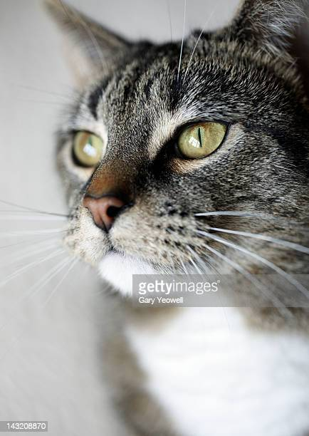 portrait of female tabby cat - yeowell foto e immagini stock