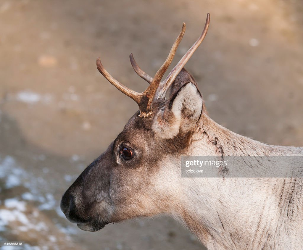 Portrait of Finnish forest reindeer - Rangifer tarandus fennicus : Stock Photo