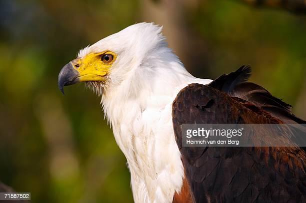 Portrait of Fish Eagle (Haliaeetus vocifer)