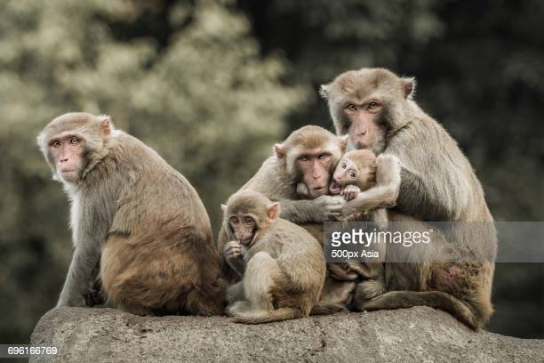 Portrait of fivemacaque monkeys sitting on rock