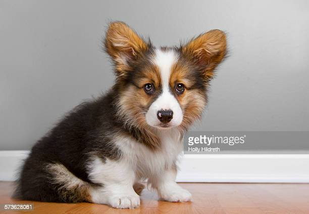 Portrait of fluffy pembroke Corgi