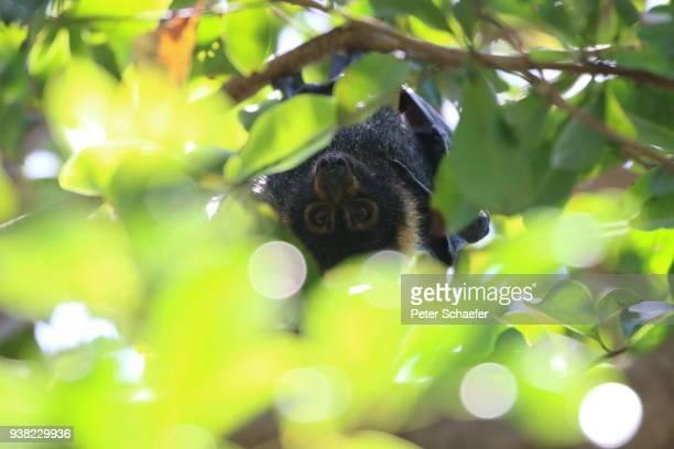Portrait Of Flying Fox Hanging On Tree