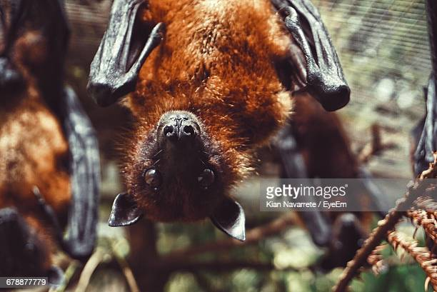 portrait of flying fox - flying fox stock pictures, royalty-free photos & images