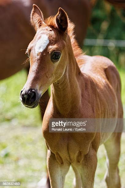 Portrait Of Foal Standing On Field
