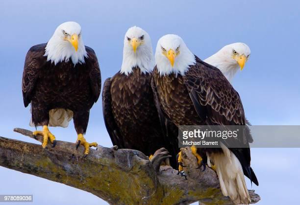 Portrait of four bald eagles perching on branch, Homer, Alaska, USA