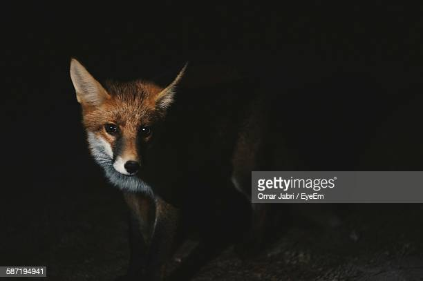 Portrait Of Fox At Night
