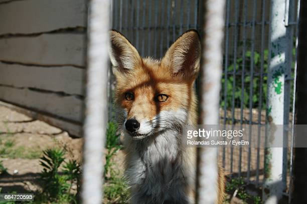 Portrait Of Fox In Cage