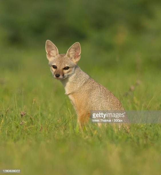 portrait of fox on grassy field,ahmedabad,gujarat,india - ahmedabad stock pictures, royalty-free photos & images
