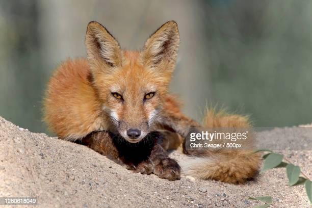 portrait of fox sitting on rock,sarnia,ontario,canada - サルニア ストックフォトと画像