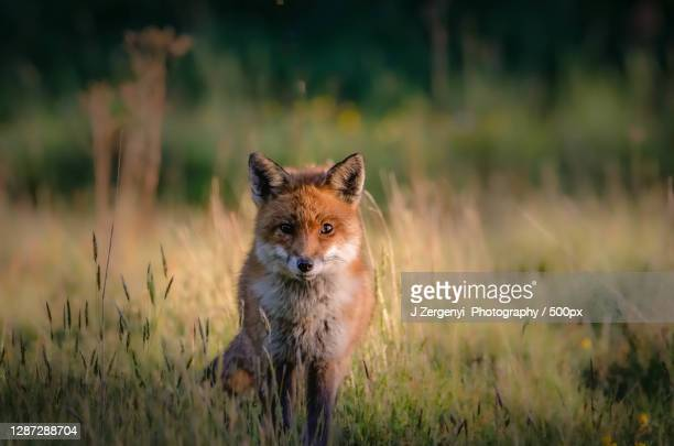 portrait of fox standing on grassy field,colchester,united kingdom,uk - animal stock pictures, royalty-free photos & images