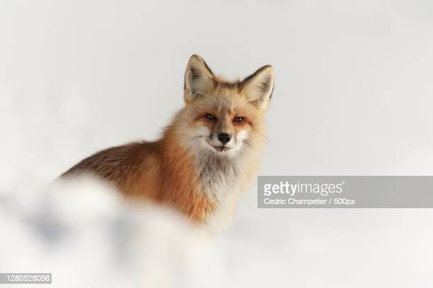 portrait of fox standing on snow covered land,parc national de yellowstone,united states,usa - parc national de yellowstone stock pictures, royalty-free photos & images