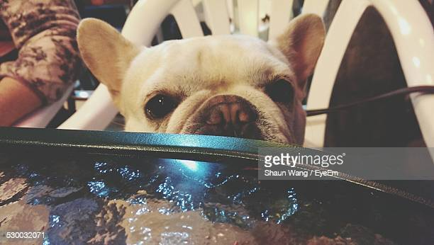 Portrait Of French Bulldog At Table