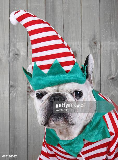 Portrait of French bulldog dressed up as Christmas elf