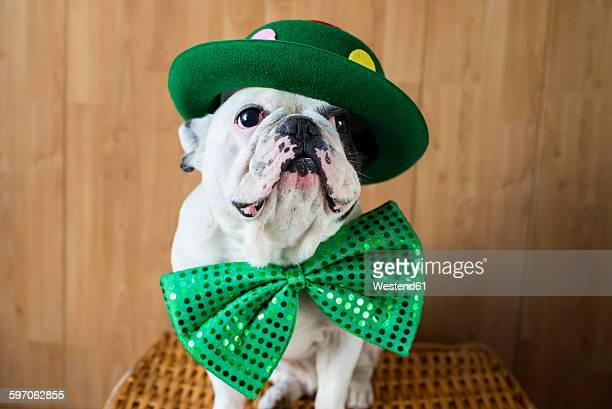 2fdd15c5bbf Portrait of French Bulldog dressed up with green hat and bow tie