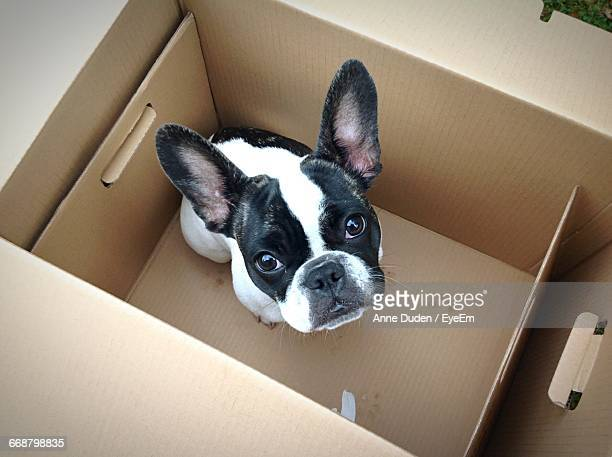 Portrait Of French Bulldog In Cardboard Box