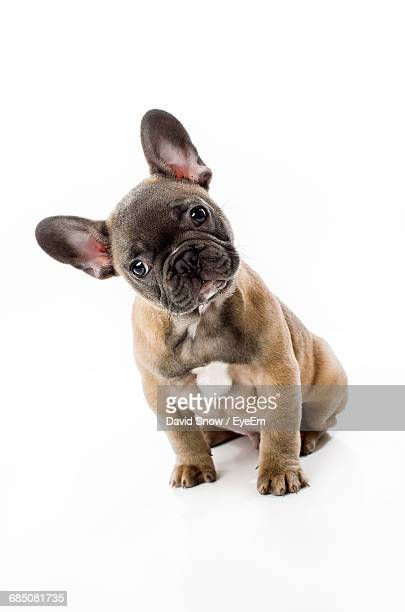 Portrait Of French Bulldog On White Background