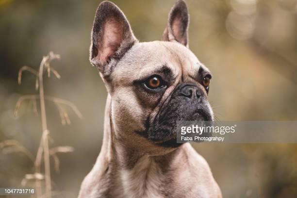 portrait of french bulldog - buldogue francês - fotografias e filmes do acervo
