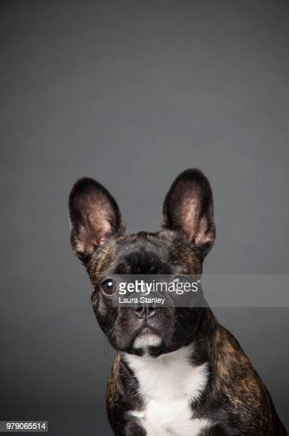 Portrait of French bulldog