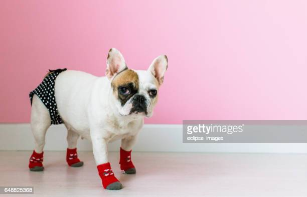 Portrait of french bulldog Puppy Sitting on Foot Stool