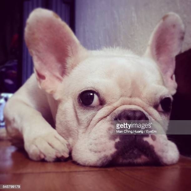 Portrait Of French Bulldog Relaxing At Home
