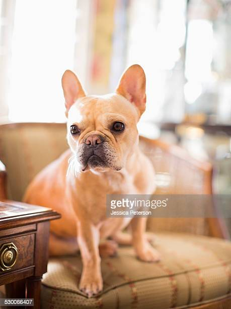 portrait of french bulldog sitting in armchair - bulldog frances imagens e fotografias de stock