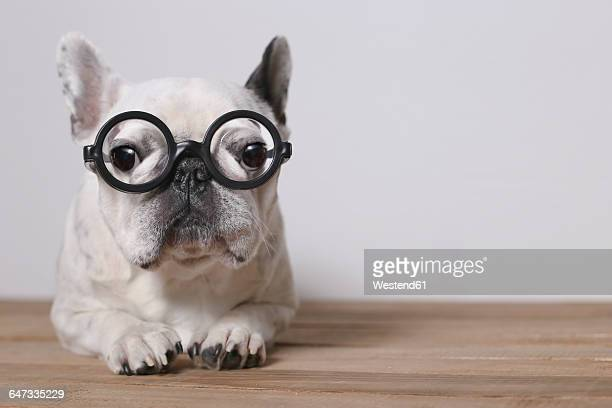 Portrait of French Bulldog wearing glasses