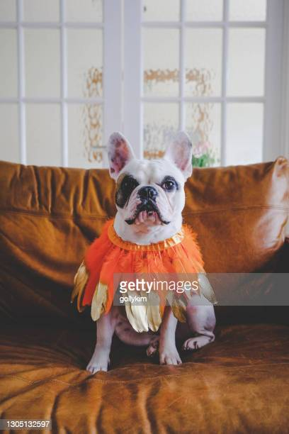 portrait of french bulldog wearing orange and gold feather bandana - pet clothing stock pictures, royalty-free photos & images