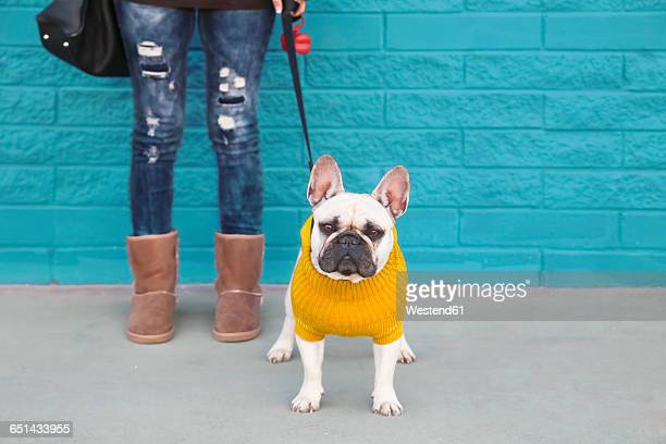portrait of french bulldog wearing yellow knit pullover - sweater stock pictures, royalty-free photos & images