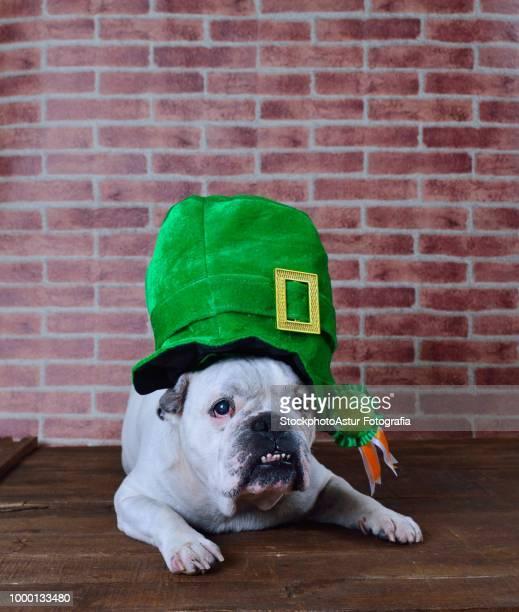 Portrait of French bulldog with a Saint Patrick cap