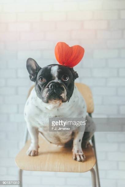 portrait of french bulldog with heart diadem - funny cupid stock pictures, royalty-free photos & images